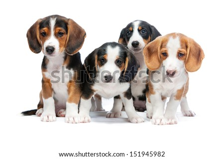 Four puppies isolated on white background. Westphalian Dachsbracke. - stock photo