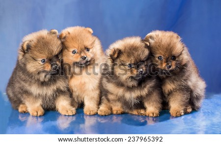 Four puppies of breed the Spitz-dog - stock photo
