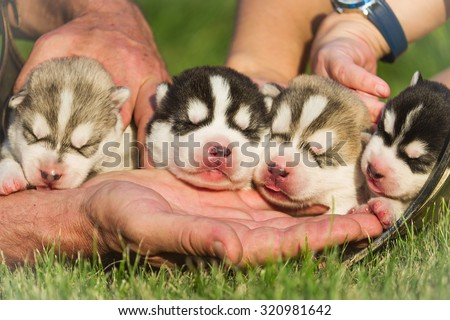Four puppies Siberian Husky. Litter dogs in the hands of the breeder. Newborn puppies with eyes closed - stock photo