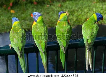 Four rainbow lorikeets,  Currumbin, Australia - stock photo