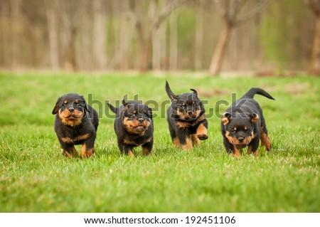 Four rottweiler puppies running - stock photo