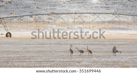 four sandhill cranes forage on a western hayfield with irrigation equipment in the background. - stock photo