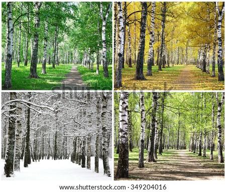 Four seasons of row birch trees - stock photo