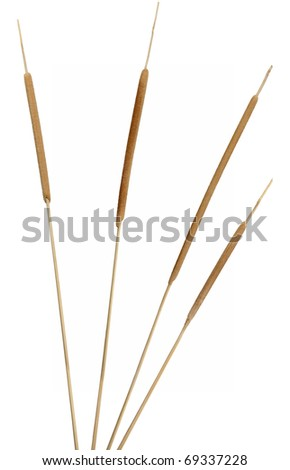 Four separated cattail stems. Very high-res. Clean edges, no shadows. - stock photo