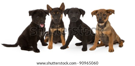 Black Lab Puppies Maybe Mixed With Chow Page 2 Photo | Dog Breeds ...