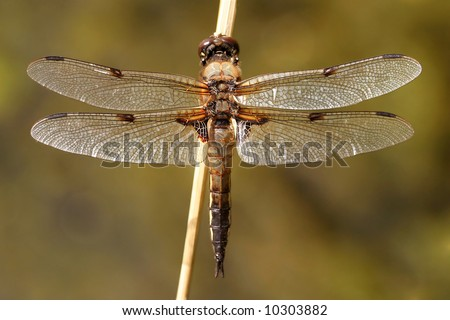 Four-spotted brown dragonfly - stock photo