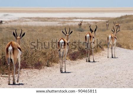 Four springboks in Etosha national park, Namibia - stock photo