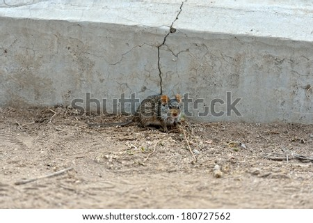 Four-striped Grass Mouse is hiding before the wall
