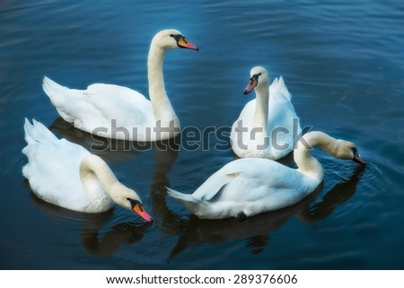 four swans floating on the water - stock photo