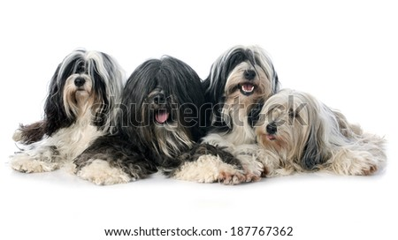 four Tibetan terrier in front of white background