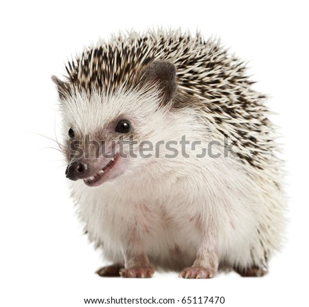 Four-toed Hedgehog, Atelerix albiventris, 2 years old, in front of white background - stock photo