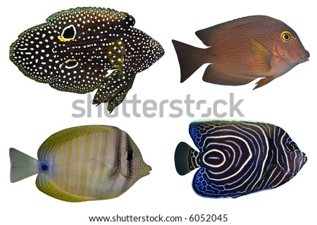 Four Tropical Fishes isolated on white - stock photo