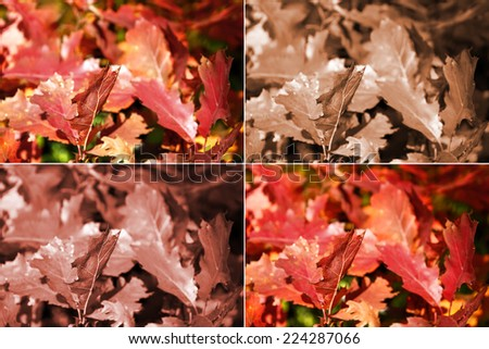 Four versions of processing a one picture with oak autumn leaves - stock photo