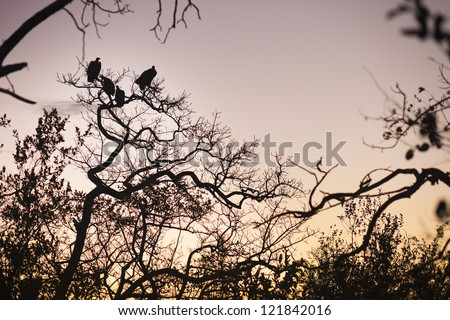 Four vultures perched in a tree, South Africa - stock photo