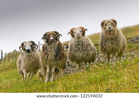 Four white ram sheep with long horns looking at you close up