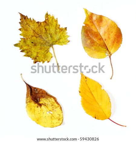 Four yellow autumnal leaves photographed on white background - stock photo