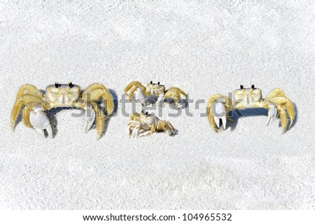 Four yellow fiddler crabs on the beach looking like a family.
