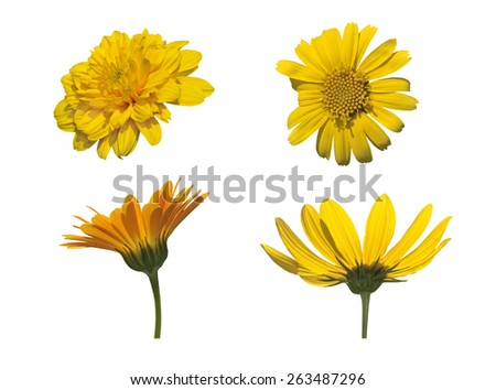 Four  yellow  flowers  solated on white background - stock photo