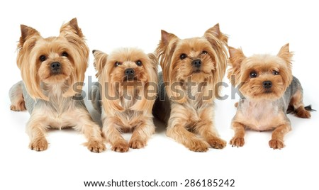 Four Yorkshire Terriers lie on white background. They were washed, got haircut and perfectly groomed before photo shoot.                                - stock photo