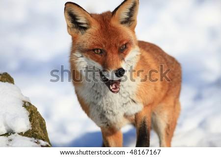 fox - stock photo