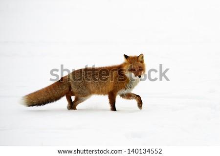 Fox at Shiretoko National Park - stock photo