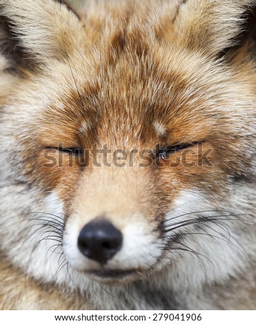 Fox close up portrait, Amsterdamse Waterleiding Duinen, The Netherlands