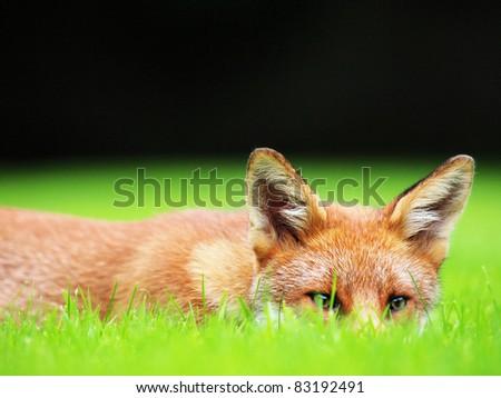 Fox cub lying low - stock photo