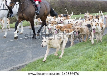 Fox Hunt, horse and hounds - stock photo