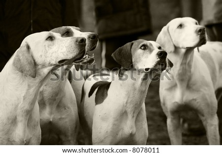 FOX HUNTING HOUNDS - stock photo
