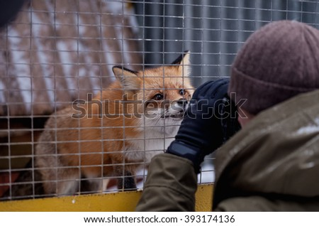 Fox in a zoo smells a lens of a chamber of the photographer. Lovely and friendly animal. A red Russian fox in unnatural habitat. - stock photo