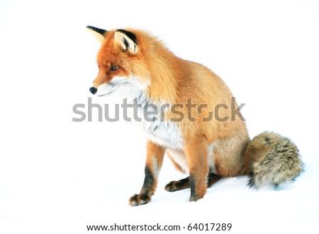 Fox in natural habitat - stock photo