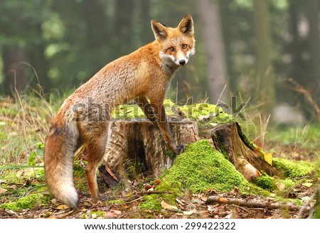 Fox on stump - stock photo