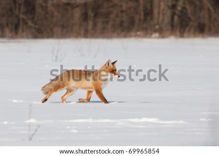 Fox on white snow - stock photo