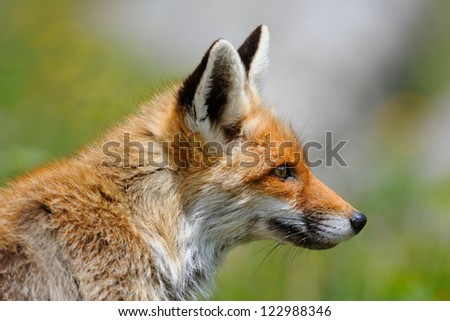 Fox portrait - stock photo