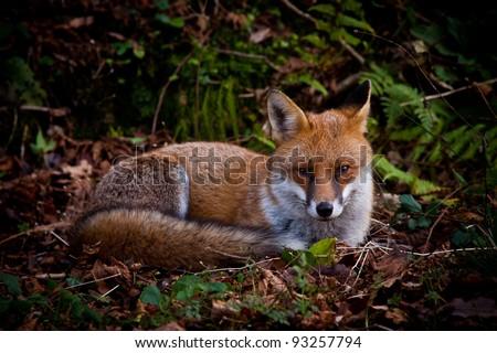 Fox resting - stock photo