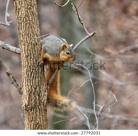 Fox squirrel (sciurus niger) looking down from a tree