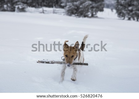 Fox terrier enjoying snow in winter