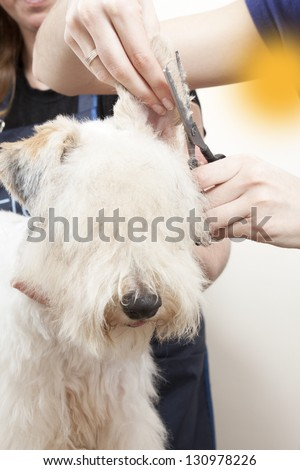 Fox terrier getting his hair cut at the groomer - stock photo