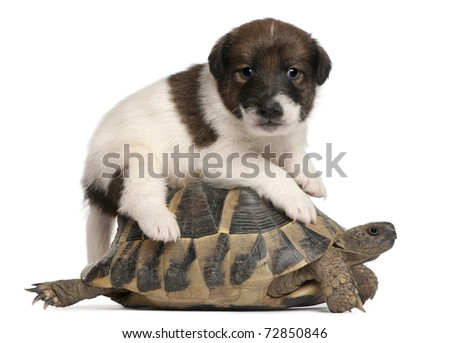 Fox terrier puppy, 1 month old, and Hermann's tortoise, Testudo hermanni, in front of white background - stock photo