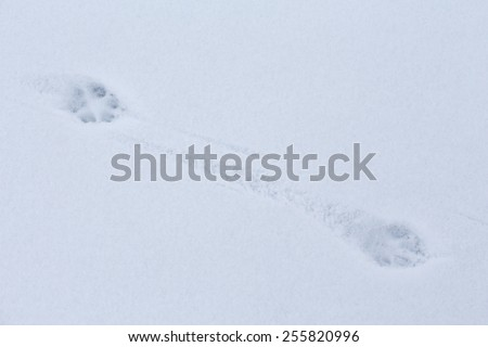 fox track - stock photo
