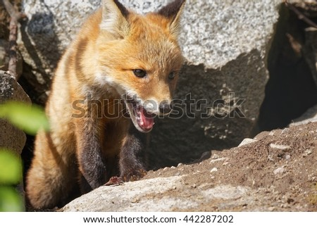 Fox (Vulpes vulpes) puppy portrait in the sunlight in the forest. Cute little red fox walking out of the nest.