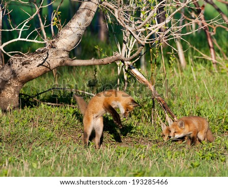Foxes in the wild - stock photo