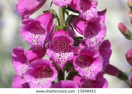 foxglove - stock photo