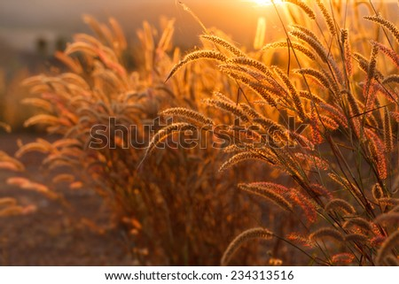 Foxtails grass  under sunshine ,close-up selective focus