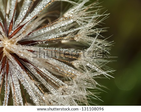 fragile dandelion with morning dew drop, close-up - stock photo