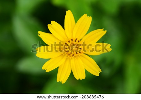 fragile delicate yellow flower  - stock photo