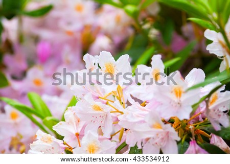 fragile pink buds of rhododendrons, natural background - stock photo