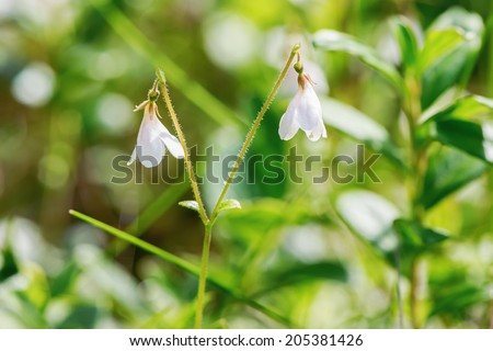 Fragile twinflower or Linnea borealis at forest floor in closeup - stock photo