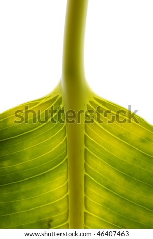 fragment of a large green leaf with veins on a white background
