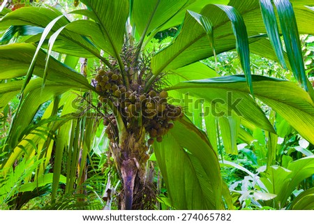 Fragment of a palm tree with fruit in a dense tropical forest in Hawaii - stock photo